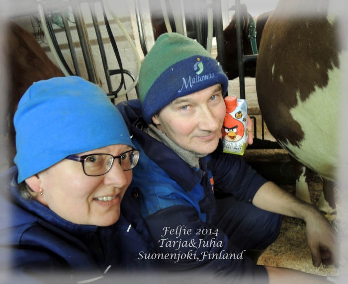 Tarja and Juha Jalkanen and their cows.
